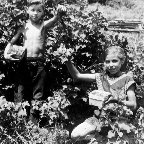 Fran and Irv picking currants, 1947
