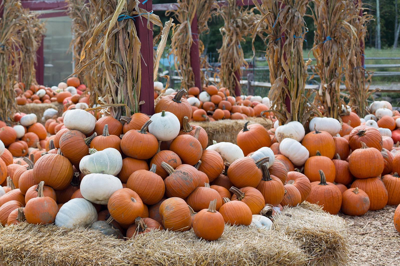Pumpkin Patch Silvermans Farm